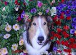 1156S-Petunias surrounding the Sheltie Dog Face