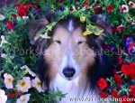 1188S-Petunias on the Sheltie Dog Face