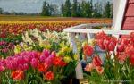 00001-Tulip Daffodil Field