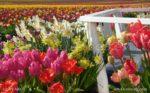 00002-Tulip Daffodil Field