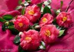 000174-Pink Camellias
