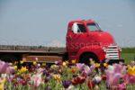 00020-Red Truck in Tulip Field