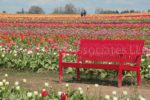 00030-Tulip Field-Red Bench