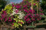 00128-Sanguna Flowers on the Wagon