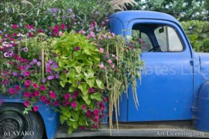 00182-Sanguna, Amaranthus on the Old Blue Pick-up Truck