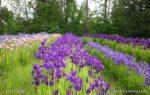 00208-Iris Field