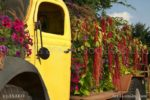 00216-Amaranthus-Sanguna-Yellow Truck