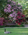 00218--Wood Bench and Bird in Rhododendron Garden