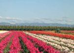 00468-Tulip Field