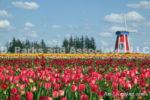 0070-Tulip Field