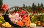 Dahlia Bouquets with Pumpkins