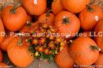 0239-Pumpkins and Mums