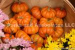 0257-Pumpkins Mums
