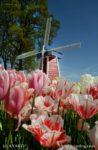 3062-Tulip Windmill