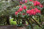3537-Red Rhododendron Garden