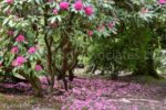3571-Rhododendron Garden