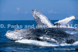 Whale Africa By Dan Merkel
