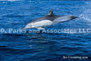 Dolphin Africa By Dan Merkel