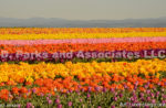4764-Tulip field Photo by Ayako