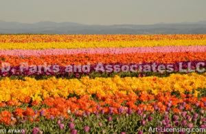 4764-Tulip field
