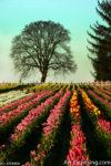 5706-Tulip field Photo by Ayako