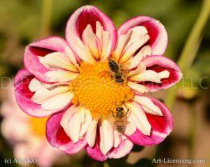 6742 Dahlia Bees