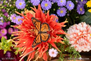 6850-Orange Dahlia and Butterfly