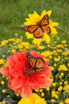 6891-Red Dahlia Butterflies