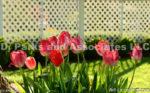 6927-Tulips
