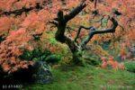 7650-Maple Tree in Portland Japanese Garden
