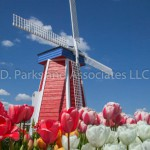 Tulip with Windmill