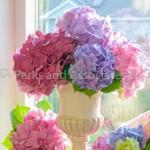 Hydrangea Bouquet by the window