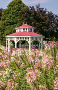 Cleome and Gazebo in Flower Garden