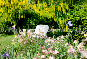 0158-Iris, Aquilegia, Labrnum, Golden chane, White Bench in Garden