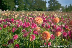 0044Art-Dahlia Field-by AYAKO