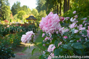 4872Art-Pink Roses in the Rose Garden-by AYAKO
