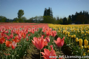 6652Art-Tulip Field in Oregon USA-by AYAKO