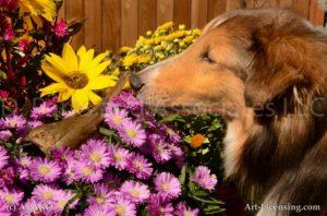 6969-Aster Rudbecia Brown Bird with Sheltie Dog-by AYAKO