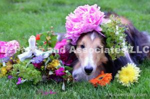 8445-Peony flower on Bill Sheltie Dog Head-by AYAKO