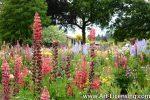 7073-Lupine Garden