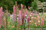 7158-Lupine in the Garden