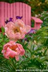 7287-Pink Peonies